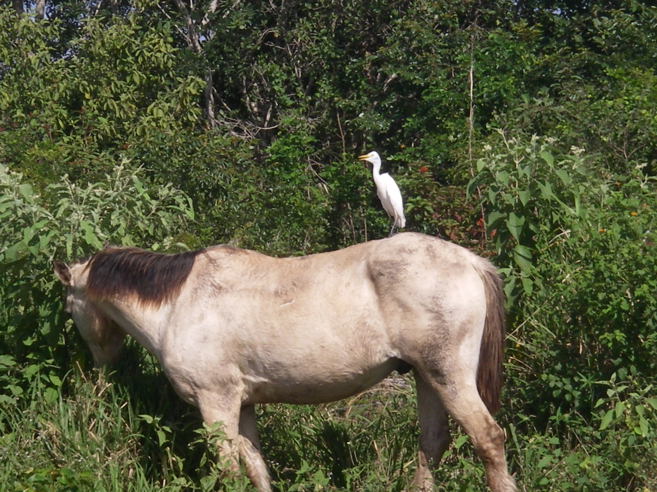 Symbiotic Relationship Between Birds And Horses Two Old Horses And Me