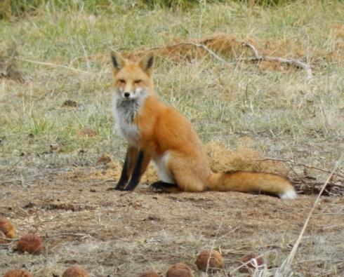 Kansas-Fox