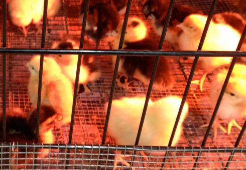 Chicks-2