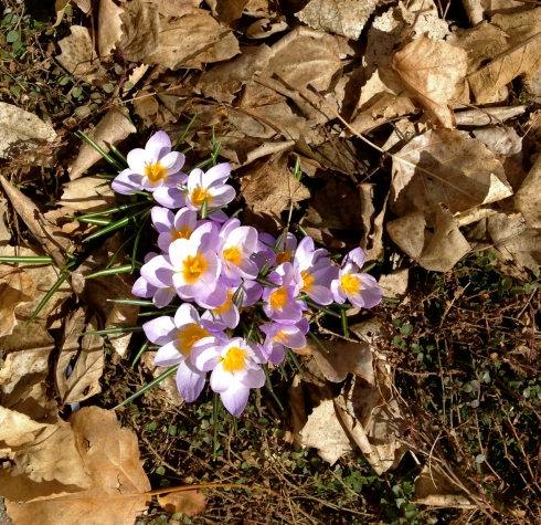 crocus-in-leaves