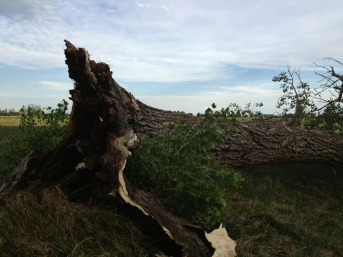 Downed Cottonwood